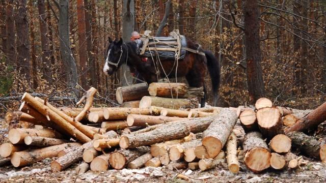Близо 200 незаконно отсечени дървета във Варненско
