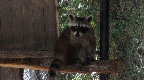 Двойка еноти са новите обитатели на зоопарк