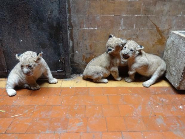 Младите лъвове – с рожден ден в зоопарка