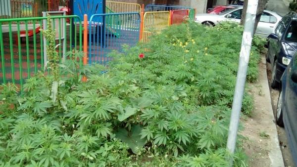 Разбиха оранжерия за марихуана във Варненско