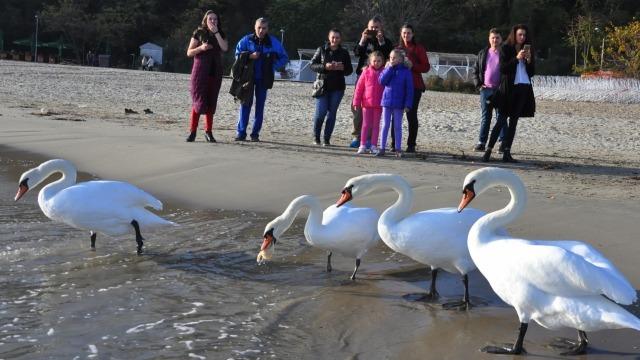 Варненци хранят лебедите по плажа (снимки)