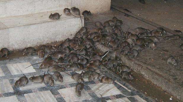 """Пръскат срещу плъхове в """"Трошево"""""""