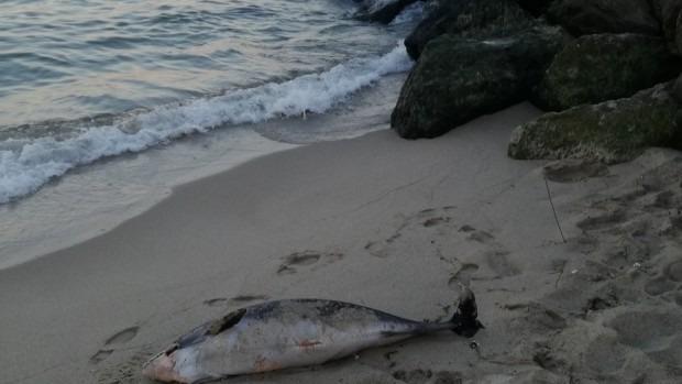 Морето отново изхвърли труп на делфин на Централния плаж