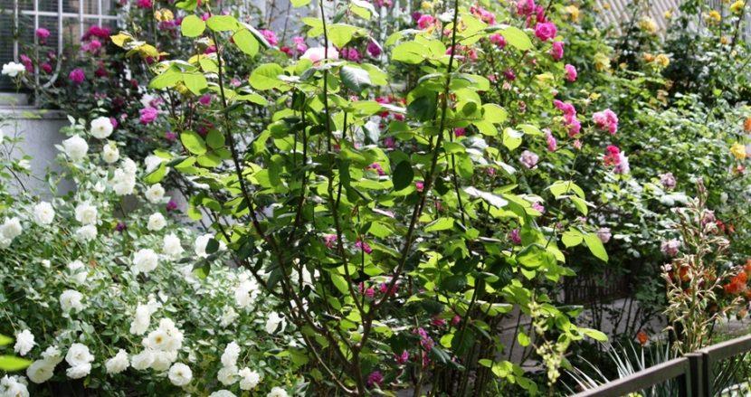 Красиви рози в двор на жилищна кооперация радват минувачите (снимки)