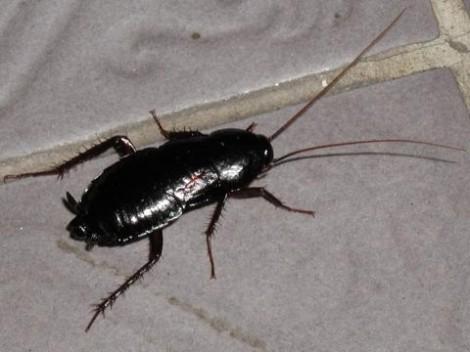 Къде се развъждат хлебарки във варненските блокове и как да ги преборим