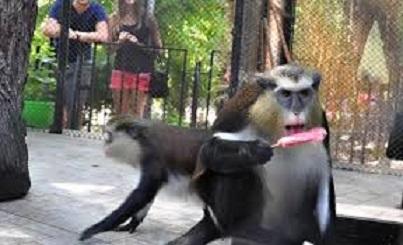 Варненските маймуни се спасяват със сладолед в жегите