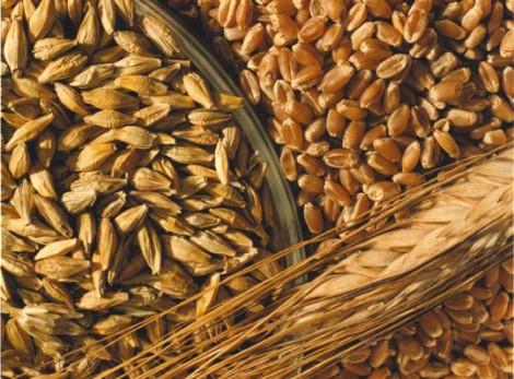 Двама в ареста, крали жито край Варна