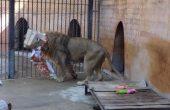 Лъвски рожден ден с подаръци във варненския зоопарк (снимки)