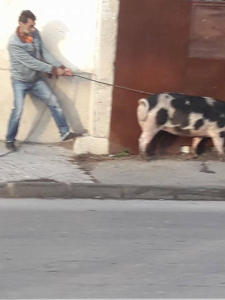 Нова атракция във Варна – разходка на прасета в центъра на града