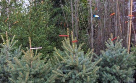 Варненските горски стражари: Не купувайте коледни дръвчета без контролни пластини