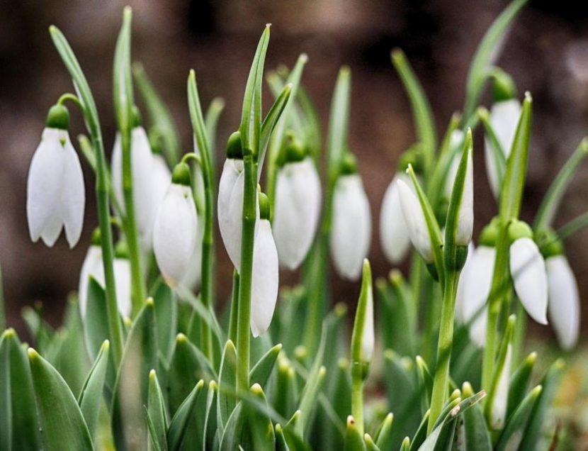 Пролет през януари: Първите кокичета за 2018 година във Варна (снимки)