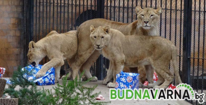 Лъвското семейство във варненския зоопарк се радва на подово отопление