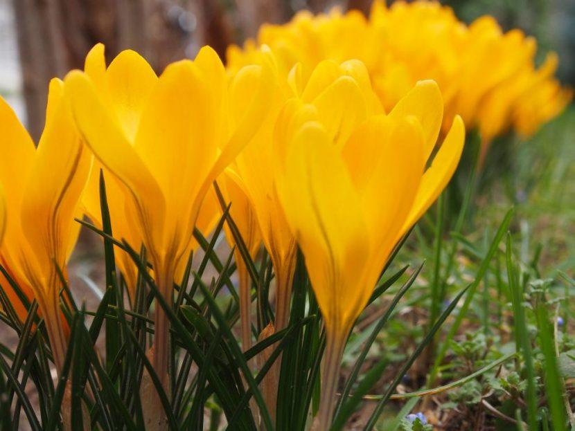 С дъх на пролет: Първите минзухари разцъфнаха в морската градина
