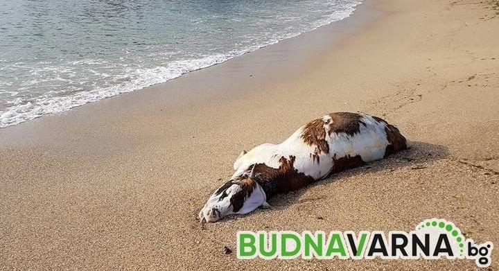 Читателка на Будна Варна: морето изхвърли крава на брега (снимки)
