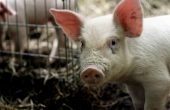 Във Варненско няма случай на чума по свинете
