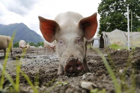 Призовават хората в Провадийско сами да заколят прасетата си