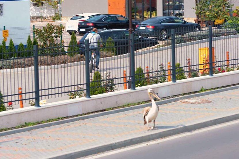 Читател на Будна Варна: Пеликан кацна на морска гара (снимки)