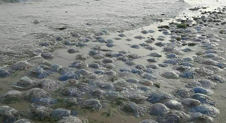 Хиляди медузи окупираха варненския централен плаж