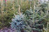 Да следим за контролни пластини на продаваните елхи във Варненско, съветват специалисти