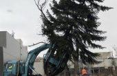 Уникална трансплантация на дървета правят във Варна