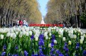 Морската градина посреща пролетта с над 115 000 лалета и теменужки