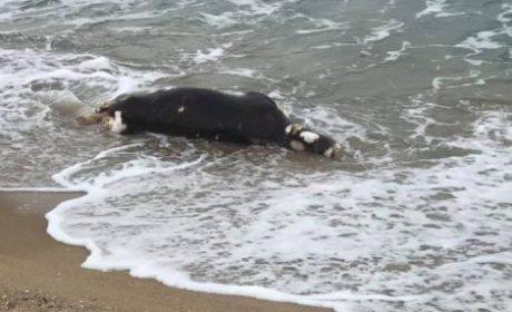 Морето изхвърли труп на крава на плаж на Златни пясъци