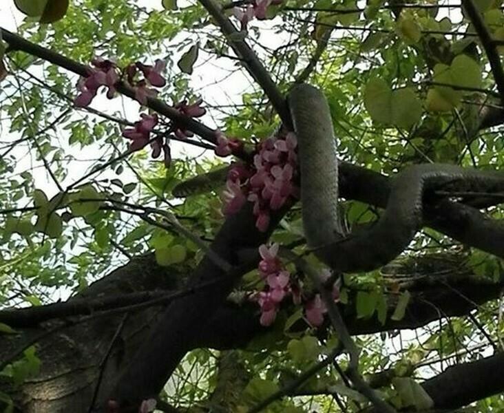 Змия се скри в короната на дърво във варненски квартал (снимки)