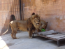 Зоопаркът във Варна отпразнува 11-ия рожден ден на лъва Симба (снимки)