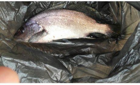 Редки риби изпревариха сафрида край Варна