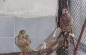 Няколко вида защитени птици са настанени в спасителния център на Зоопарк - Варна