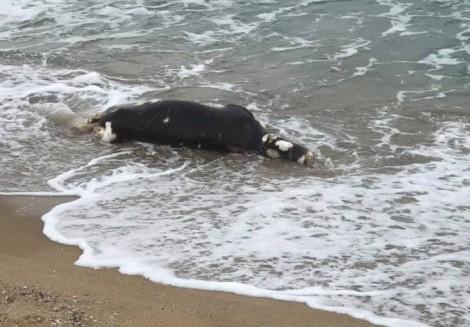 Мъртви крави изплуваха на плажа край Варна