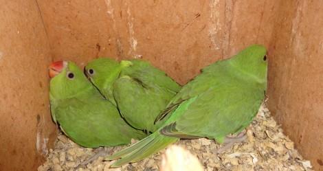 """Папагали от вида """"малък Александър"""" се излюпиха във варненския зоопарк"""