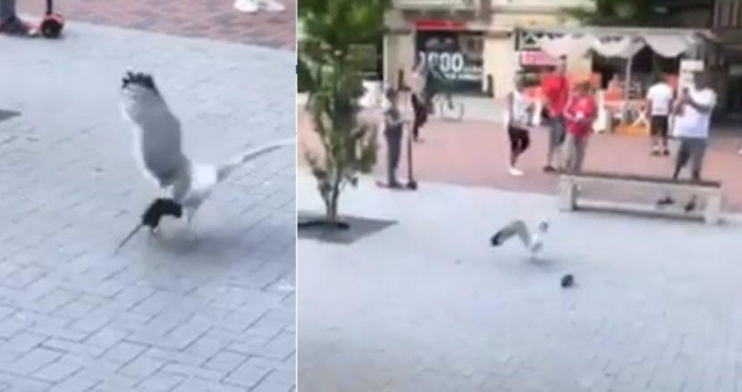 Гларус нападна огромен плъх в центъра на Варна