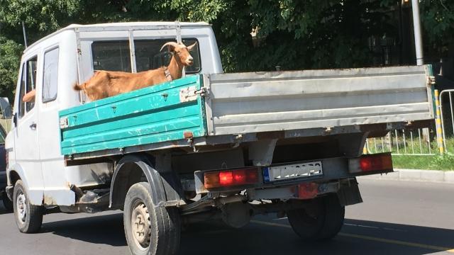 Коза се вози гордо на товарен автомобил
