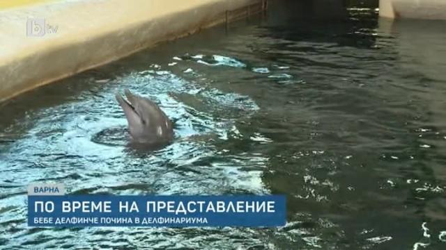 Бебе-делфинче почина по време на представление в делфинариумa