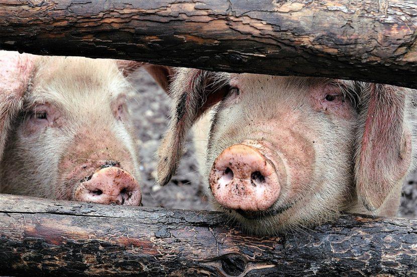 Нови огнища на свинска чума и в област Варна