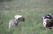 Пребоядисаха крави като зебри, за да тестват странна хипотеза