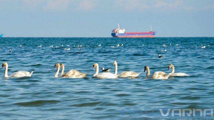 Първите лебеди пристигнаха (снимки)