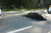 Две катастрофи с диви свине край Варна