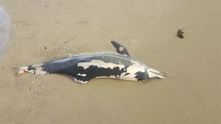 Труп на бебе делфин изплува на Централния плаж във Варна (СНИМКА)