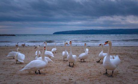 Варненци, не хранете лебедите с хляб – убивате ги