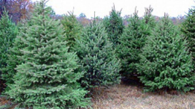 Коледните елхи във Варна стигнаха до 300лв.