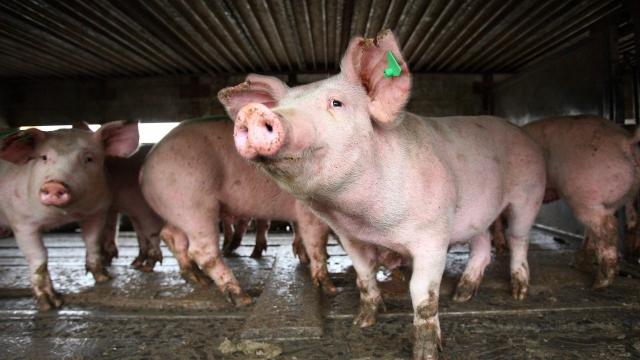 Ново огнище на свинска чума във Варненско