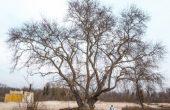 Ентусиасти организират разходка до най-старото дърво във Варна