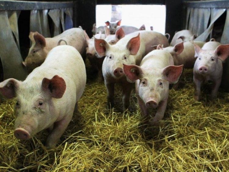 Ново огнище на чума във ферма с 40 хил. свине в област Варна
