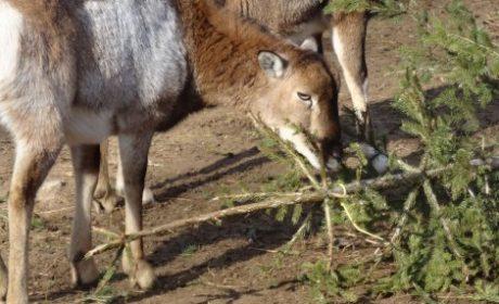 Подариха 480 елхи на животните във варненския зоопарк