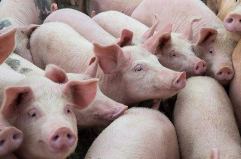 Започва умъртвяването на близо 40 хил. прасета във Варненско