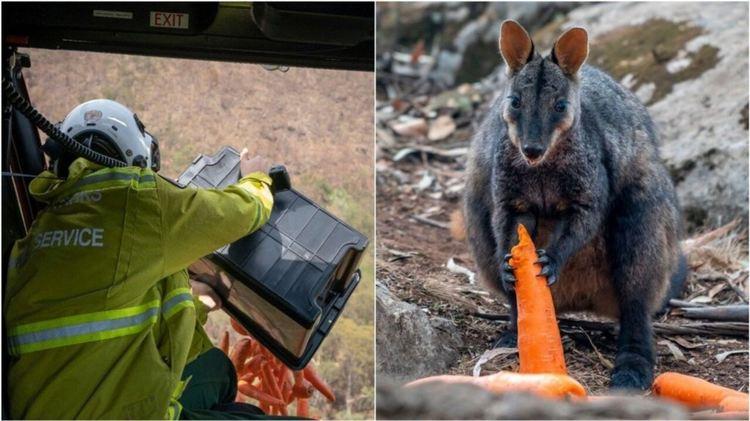 Пускат с хеликоптери тонове храна за животните в опожарена Австралия (видео)