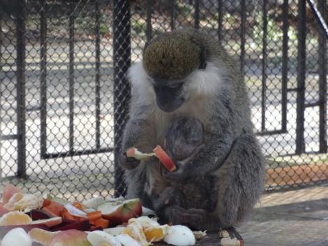 Сладко маймунче е най-новия обитател на зоопарка (снимки)