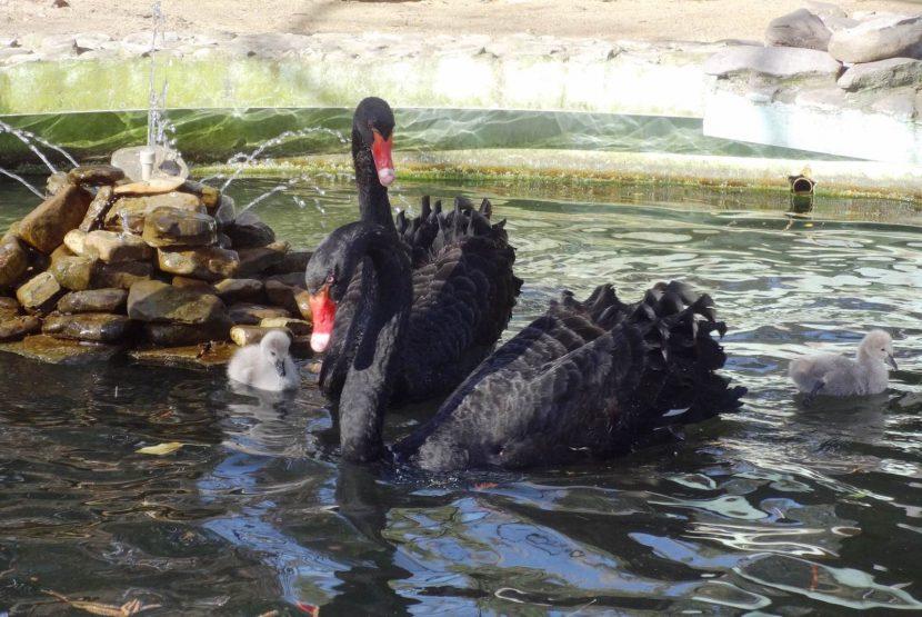 За първи път във варненския зоопарк лебедите имат потомство (СНИМКИ)